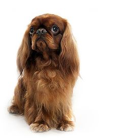 The english toy spaniel dog breed has many unique features. Check out the english toy spaniel dog breed on Animal Planet's Breed Selector. Spaniel Breeds, Spaniel Dog, Spaniels, Lap Dogs, Dogs And Puppies, Doggies, Fear Of Dogs, Dog Breed Selector, The Kennel Club