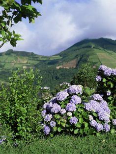 Hydrangeas in Bloom, Island of Sao Miguel, Azores, Portugal by David Lomax
