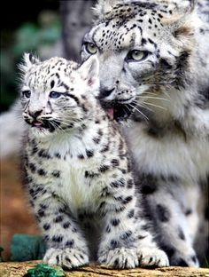 Two-month-old snow leopard cub Yukichi is groomed by his mother Yuki during his first public appearance at the Tama Zoological Park in Tokyo, Japan.