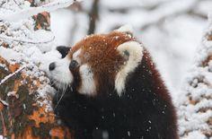 red pandas are so cute!