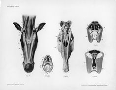 Horse anatomy by Herman Dittrich – underjaw   Shoestring Stable