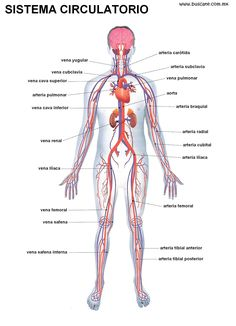 Esquema del sistema circulatorio con los nombres de sus partes.