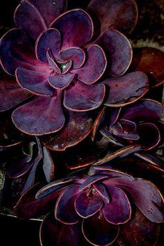 stunning purple succulent