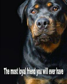 Everything we all adore about the Loving Rottweiler Dog Rottweiler Quotes, Rottweiler Pictures, German Rottweiler Puppies, Rottweiler Love, I Love Dogs, Cute Dogs, Awesome Dogs, German Dog Breeds, Dog Corner