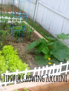 Tips for Growing Zucchini | http://www.kouponkaren.com/tips-for-growing-zucchini/