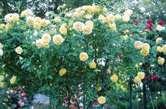Roses that grow best. Are roses easy to grow? When to buy a rose bush. What is the prettiest rose? Do floribunda roses bloom all summer? How to keep a rose bush blooming. Roses with the most fragrance. Floribunda Roses, Best Roses, Mountain Rose, Rose Bush, Blooming Rose, Pretty Roses, English Roses, Yellow Roses, Flora
