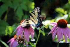 Yellow Swallowtail and Coneflowers