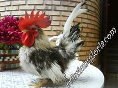 galinhas ornamentais sedosa - Pesquisa Google