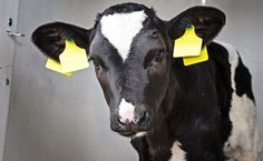 Thanks to Undercover Footage, This Dairy Farm Will Finally Be Charged With Animal Cruelty