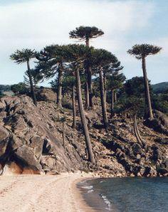 Araucaria araucana playa - Araucaria araucana - Wikipedia, la enciclopedia libre