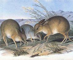 Bandicoot-pés-porco