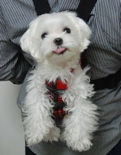 Maltese Pup~ Just hanging with my dad :0)