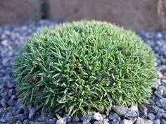dianthus erinaceus alpinus