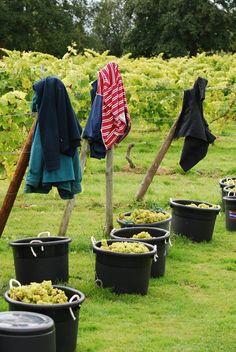 Oatley Vineyard, Somerset, UK. Madeleine Angevine harvest Sept 2012