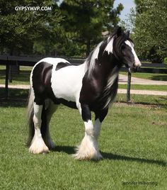 Gypsy Vanner Horse | Mare | Black and White | Layla