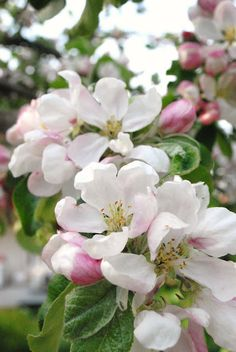 Apple blossoms - Michigan's state flower. You know spring is definitely here when the orchards are in bloom. A favorite, fragrant time of year.