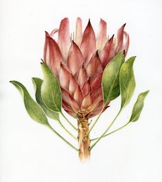 Looking for original botanical paintings or prints of Proteas, Aloes, South African flora? I paint in watercolour on commission and sell high quality prints. Protea Art, Flor Protea, Protea Flower, Illustration Blume, Watercolor Illustration, Botanical Drawings, Botanical Prints, Watercolor Flowers, Watercolor Art