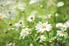 Summer Daisy Field Free Stock Photo Download