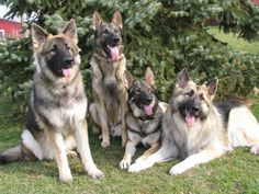 Shiloh Shepherd...just gorgeous and well-mannered doggies!