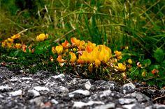 Vitosha mountain flowers