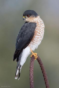 Plain-breasted Hawk (Accipiter ventralis)