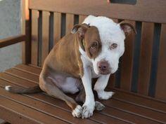 ★THANKS TO AMSTERDOG ANIMAL RESCUE:  DAKOTA - A1054088 IS SAFE!!! 10/16/15★