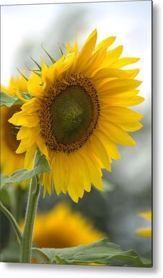 Sunflower Portrait Metal Print by Bonfire #Photography
