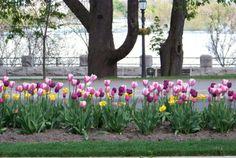 Parade of tulips Niagara Fall, Canada