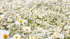 Download Wallpaper 2048x1152 Daisies, Flowers, Field, Many, Summer ...