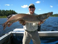 In Minnesota, the Northern Pike is the most widely distributed fish and they can grow to huge sizes