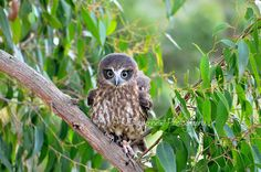https://flic.kr/p/uFWYh7 | Female Barking Owl perched in tree