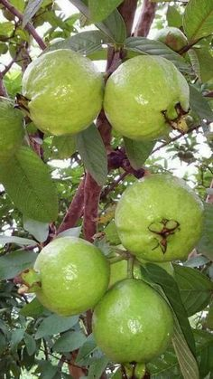 Guavas in the Philippines Fruit Plants, Fruit Garden, Fruit Trees, Fruit And Veg, Fruits And Veggies, Fresh Fruit, Vegetables, Colorful Fruit, Tropical Fruits