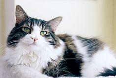 dreamcamera: my cat Chloe is the best {Nikon FM2 and Kodak Portra 400}