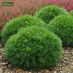 https://www.gardenpalms.com//Userfiles/FotosProdMP/Pinus mugo Varella