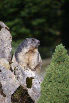 Marmotte (Haute-Savoie)