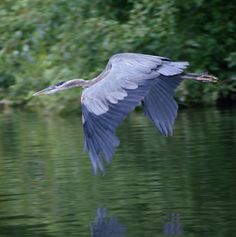 Great Blue Heron in flight. These summer on the river in our town. They are incredible!
