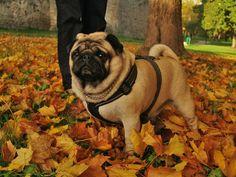 Autumn pug | EuroPug Store