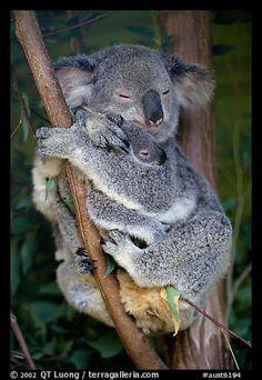 Koala and cub. Australia