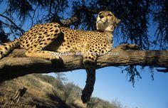 cheetah+in+a+tree | AMPC10 Cheetah in tree | Ann & Steve Toon Wildlife Photography