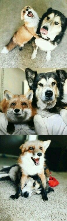 Friendship between a fox and a dog