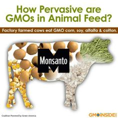 How Pervasive Are GMOs In Animal Feed? Learn More Here: http://gmoinside.org/gmos-in-animal-feed