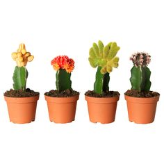 Ikea GYMNOCALYCIUM  Potted plant, grafted cactus, assorted species plants  $5.99