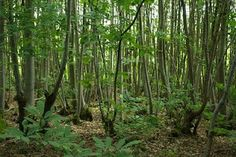 Coppicing- how to do it, why, uses for wood, benefits, great info.