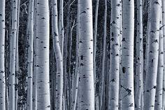 Aspen Birch Forest Wall Mural - Nature Wall Mural   Eazywallz