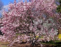 Magnolia Tree Pruning: Learn How And When To Prune Magnolia Trees