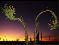 View at twilight of a Boojum tree in Baja California Unusual Plants, Rare Plants, Cool Plants, Baja California, Desert Art, Frames For Canvas Paintings, Tree Leaves, Growing Tree, Cool Posters