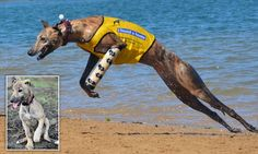 Bionic greyhound gets a prosthetic leg and a new lease on life
