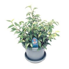Want to know how to grow ficus? Get tips for caring for this indoor plant, including how to water ficus and more. It's one of the best houseplants! Ficus, Plant Care, Dwarf, Houseplants, Indoor Plants, Gardening, Inside Plants, Indoor House Plants, Lawn And Garden