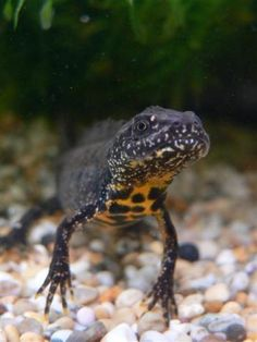 Great Crested Newt  Contributed by: Karl Charters