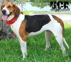 Treeing Walker Coonhound Breed Information and Pictures - United Canine Association I Love Dogs, Puppy Love, Dog Lover Gifts, Dog Lovers, Walker Hound, Treeing Walker Coonhound, Best Dog Breeds, Hound Dog, Hunting Dogs